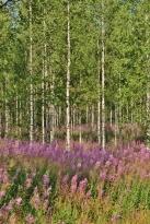 Birken und Schmalblättriges Weidenröschen