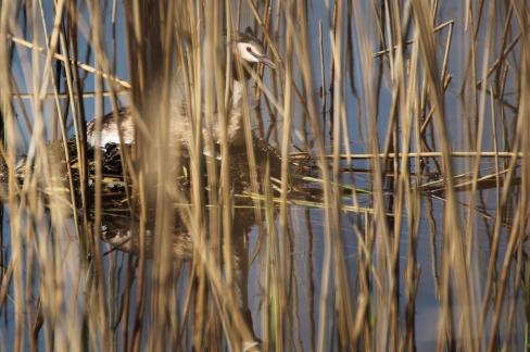 Das Nest der Haubentaucher schwimmt auf dem Wasser. Zwar gut versteckt, aber wenig scheu zeigte sich dieser brütende Altvogel.