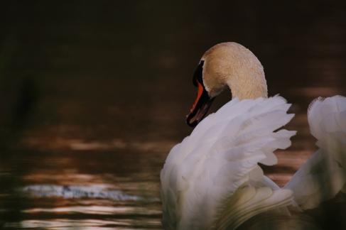 Anmutig glitt der Höckerschwan durch das abendlich angestrahlte Wasser.